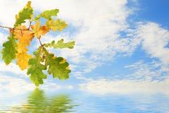 Branchement de chêne d'automne Photos libres de droits