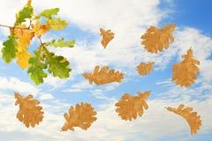 Branchement de chêne d'automne Photographie stock