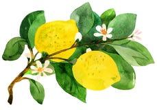 Branchement de citron. illustration de vecteur