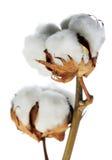 Branchement de coton Photos stock