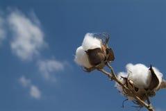 Branchement de coton images libres de droits