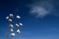 Branchement de coton images stock
