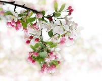 Branchement de fleur de cerise Photographie stock