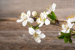 Branchement de floraison de cerise Photos stock