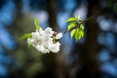 Branchement de floraison de cerise Photo libre de droits