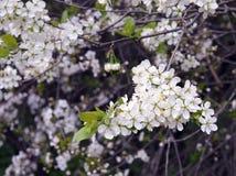 Branchement de floraison de cerise Image stock