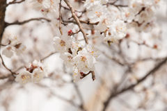 Branchement de floraison de cerise Images libres de droits