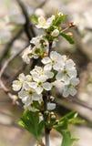Branchement de floraison de cerise Images stock