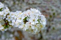 Branchement de floraison de cerise Image libre de droits
