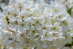 Branchement de floraison de cerise Photographie stock libre de droits