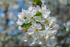 Branchement de floraison de cerise Photos libres de droits