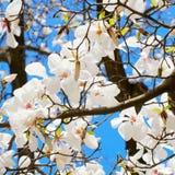 Branchement de floraison de cerise de source Photo libre de droits