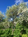 Branchement de floraison de pommier Photo libre de droits