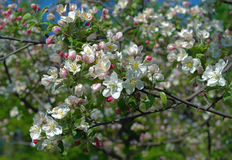 Branchement de floraison de pommier Image libre de droits