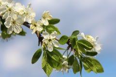 Branchement de floraison de pommier Photographie stock