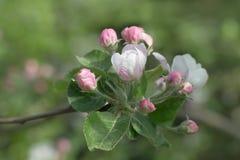 Branchement de floraison de pommier au printemps Image libre de droits