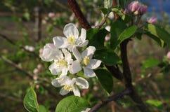 Branchement de floraison de pommier au printemps Photo stock