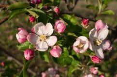 Branchement de floraison de pommier au printemps Images libres de droits