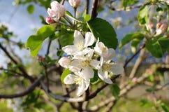 Branchement de floraison de pommier au printemps Photographie stock libre de droits