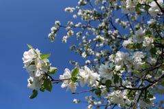 Branchement de floraison de pommier au printemps au-dessus de ciel bleu Photo libre de droits