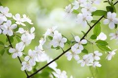 Branchement de floraison de prunier Image libre de droits