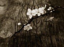 Branchement de floraison de prunier Photographie stock libre de droits