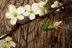Branchement de floraison de prunier Photographie stock