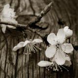 Branchement de floraison de prunier Image stock
