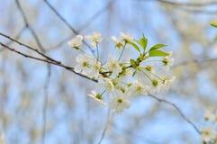Branchement de floraison de prunier Photo libre de droits