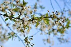 Branchement de floraison de prunier Images stock