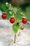 Branchement de fraisier commun Photographie stock
