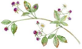Branchement de framboise avec le fruit illustration stock