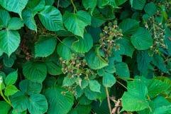 Branchement de framboise verte Image stock