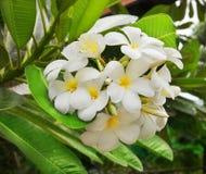 Branchement de frangipani tropical de fleurs Image libre de droits