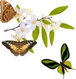 Branchement de jasmin avec trois grands guindineaux illustration de vecteur