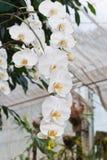 Branchement de l'orchidée blanche Images libres de droits