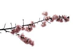 Branchement de la fleur de cerise Photographie stock