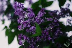 Branchement de lilas photo libre de droits