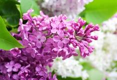 Branchement de lilas Photographie stock