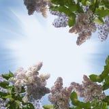Branchement de lilas Image libre de droits