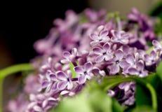 Branchement de lilas images libres de droits