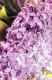 Branchement de lilas image stock