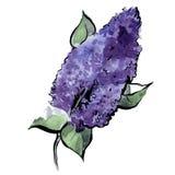 Branchement de lilas Illustration d'aquarelle avec un contour noir Vecteur illustration libre de droits