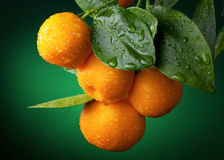 Branchement de mandarines Photos stock