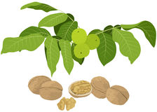 Branchement de noix avec des lames et des noix illustration stock