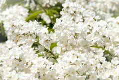Branchement de petites fleurs blanches Photo stock