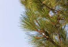 branchement de Pin-arbre photo stock