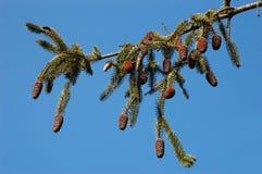 Branchement de pin blanc Photos libres de droits