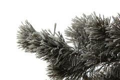 branchement de pin dans la neige Photo libre de droits
