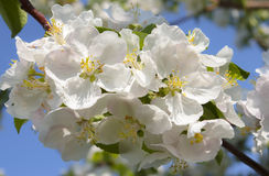 Branchement de pommier Avec des fleurs Photographie stock